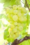 Sappige druif Stock Foto's