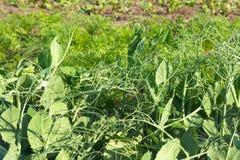 Sappige groene spruiten van jonge erwten in helder zonlicht op het landbouwbedrijf Groeiende biologische producten De erwten zijn stock fotografie