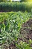 Sappige groene spruiten van jonge erwten in helder zonlicht op het landbouwbedrijf Groeiende biologische producten De erwten zijn royalty-vrije stock afbeelding