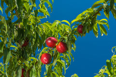 Sappige heldere nectarinesn op brunch, blauwe hemelachtergrond Royalty-vrije Stock Foto's
