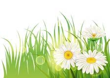 Sappige het madeliefje van de de lentebloem, van het kamilles groen gras Malplaatje als achtergrond voor banners, Web, vlieger Ve royalty-vrije illustratie