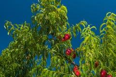 Sappige nectarinesn op brunch, oogst Royalty-vrije Stock Afbeeldingen