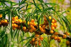 Sappige oranje wegedoornbessen op takken in zon Royalty-vrije Stock Afbeelding