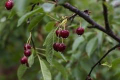 Sappige, rijpe kers op een boom, regendruppels, de zomer, oogst Stock Fotografie