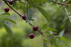 Sappige, rijpe kers op een boom, regendruppels, de zomer, oogst Royalty-vrije Stock Afbeeldingen