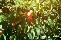 Sappige rijpe organische abrikozen Royalty-vrije Stock Afbeeldingen