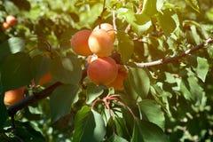Sappige rijpe organische abrikozen op de boom Stock Afbeelding