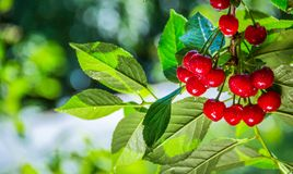 Sappige rijpe rode kersen op een tak De zomerachtergrond in een kersenboomgaard Stock Fotografie