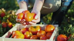 Sappige rode tomaten die slechts uit het gebied worden bijeengezocht stock video