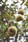 Sappige smaakvolle peren op de boom, aardachtergrond verticaal stock afbeelding