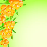 Sappy sea-buckthorn berries card. Background Royalty Free Stock Photo