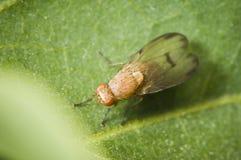 Sapromyza quadricincta from above Royalty Free Stock Image