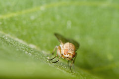 Sapromyza quadricincta Stock Image