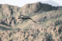 Sapsan in flight. Canyon stock image