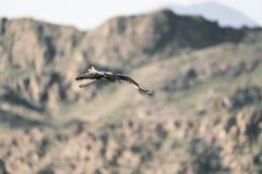 Sapsan in volo canyon immagine stock