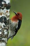 Sapsucker à gorge rouge (ruber de Sphyrapicus) images libres de droits