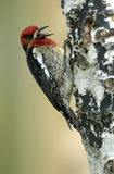 Sapsucker à gorge rouge (ruber de Sphyrapicus) image libre de droits
