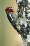 Sapsucker met rode borst (Sphyrapicus ruber) Royalty-vrije Stock Afbeelding