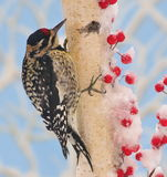 Sapsucker On White Birch Stock Images
