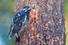 Sapsucker - Williamson's. Adult Male Williamson's Sapsucker Pecking Sap Wells On Side Of Ponderosa Pine Trunk Royalty Free Stock Photo