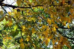 Sapucaia Nut Tree Royalty Free Stock Photos