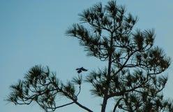 Saque del árbol de pino Imagen de archivo libre de regalías