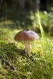 Saque do cogumelo Imagem de Stock