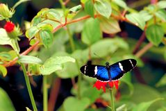 Sara butterfly feeding in flower, Florida Stock Images