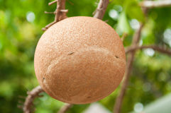 Sara fruit in temple of Thailand Stock Photography