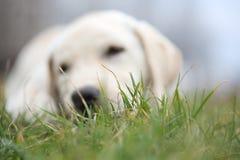 Sara Labrador retriever puppy in bokeh on grass Stock Image
