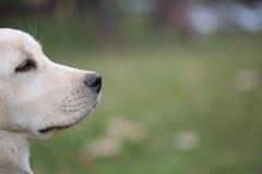 Sara Labrador retriever puppy in the yard Royalty Free Stock Photography