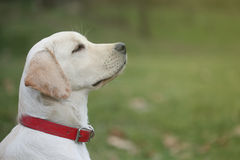 Sara Labrador retriever puppy in the yard Royalty Free Stock Images