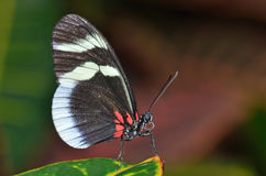 Sara Longwing Butterfly Royalty Free Stock Image