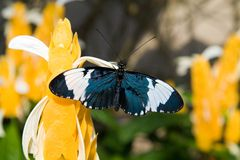 Free Sara Longwing Butterfly Stock Photography - 2049152