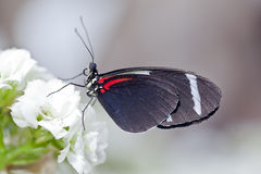 Sara Longwing Butterfly Royalty Free Stock Photos