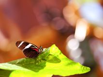 Sara Longwing butterfly on green leaf, Florida Stock Photos
