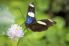 Sara longwing butterfly (Heliconius sara) Royalty Free Stock Photography