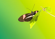 Sara Longwing Butterfly Stock Photography