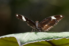 Sara Longwing Butterfly Stock Images