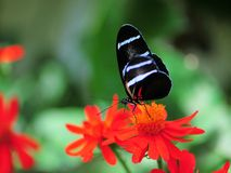 Sara longwing butterfly Royalty Free Stock Photo