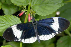 Sara longwing, heliconius sara Stock Photography