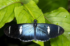 Sara longwing, heliconius sara Royalty Free Stock Photos