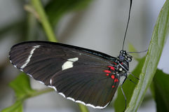 Sara longwing, heliconius sara Stock Photo