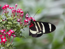 Sara Longwing, Heliconius sara Royalty Free Stock Photo