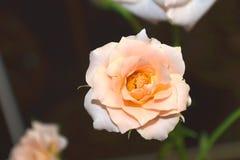 Sara Rose Arkivbilder