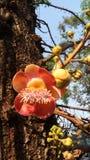 sara träd av Buddhis Royaltyfri Fotografi
