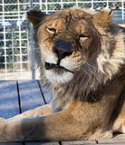 Sara the 16 year old lioness showing her Elvis impression Stock Photography