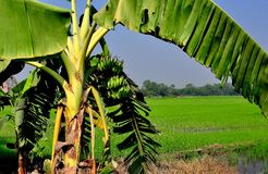 Saraburi, Thailand: Banaanboom en Padieveld Royalty-vrije Stock Foto's