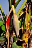 Saraburi, Thailand: Banana Tree Bud Royalty Free Stock Image