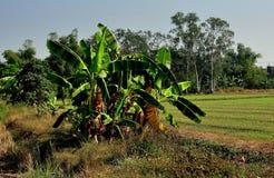 Saraburi Thailand: Dunge av bananträd Royaltyfri Bild